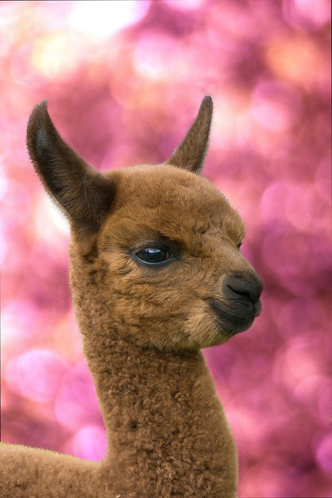 10 amazing things you should know about alpacas 10