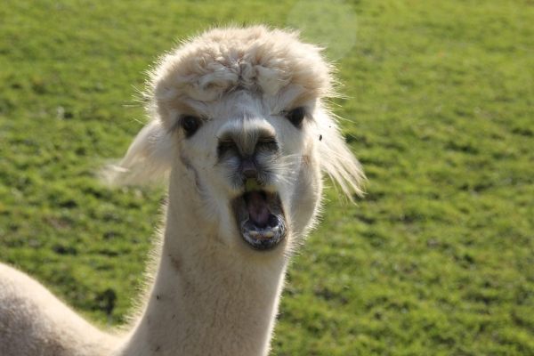 10 amazing things you should know about alpacas 11