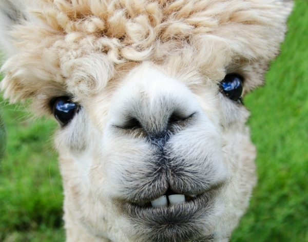 10 amazing things you should know about alpacas 2