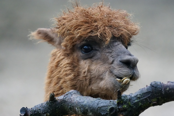 10 amazing things you should know about alpacas 4