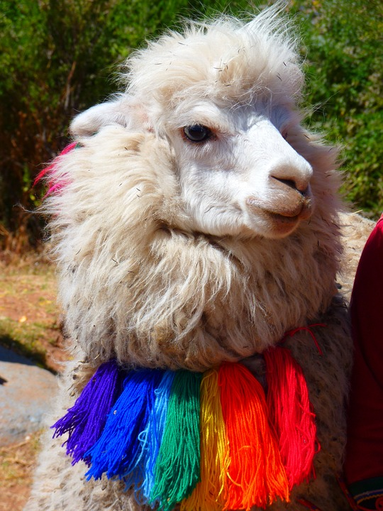 10 amazing things you should know about alpacas 5
