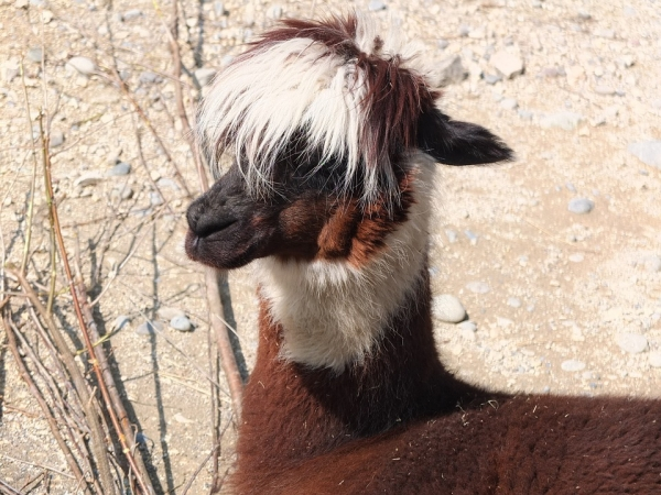 10 amazing things you should know about alpacas 6