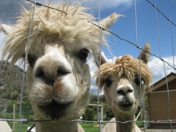10 amazing things you should know about alpacas 7