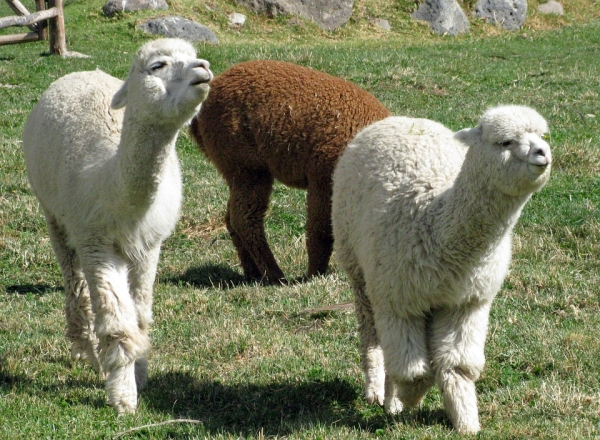 10 amazing things you should know about alpacas 9