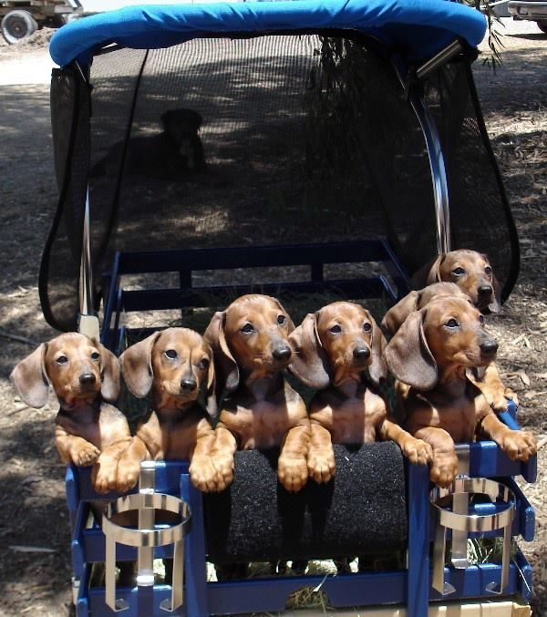 10 reasons why you simply cant resist dachshund 9