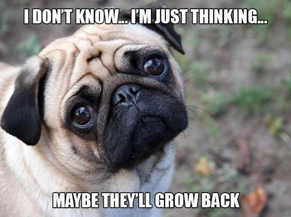 11 introspective and tottaly adorable pugs 10