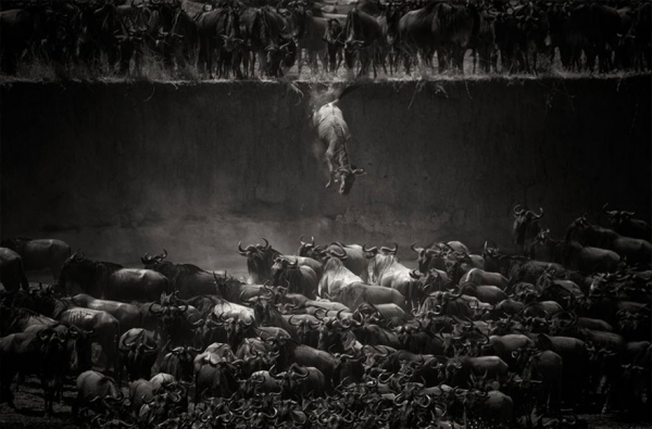 17 aweinspiring animal migrations 10