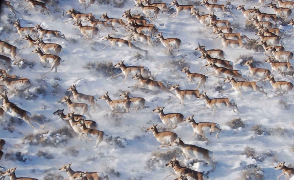 17 aweinspiring animal migrations 12