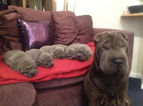 18 minime dogs that will surely melt your heart 15