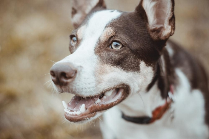 close view of short-coated brown and white dog