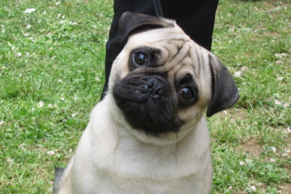 7 most wanted breeds in 2013 according to google 4
