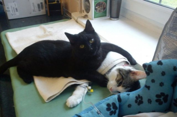 7 pictures of the nurse cat that helps his sick buddies in shelter get better 1