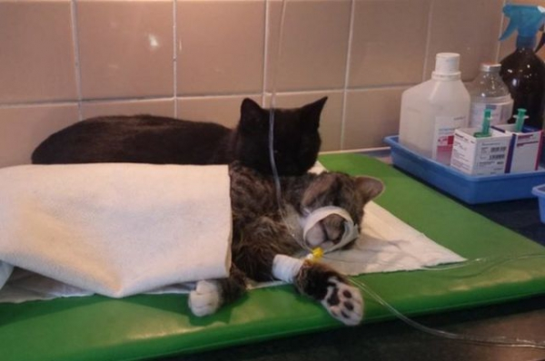 7 pictures of the nurse cat that helps his sick buddies in shelter get better 3