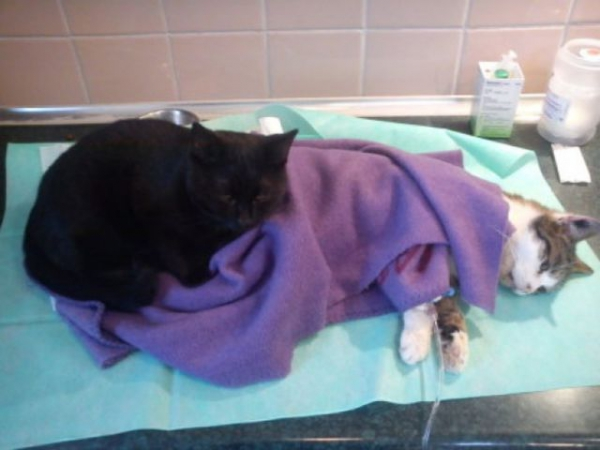 7 pictures of the nurse cat that helps his sick buddies in shelter get better 5