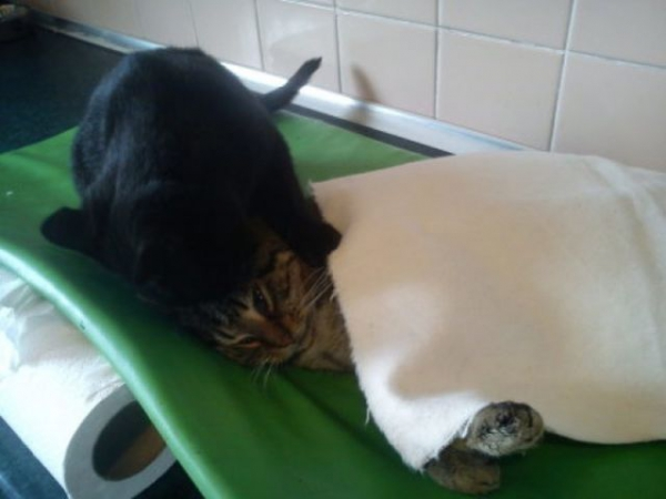 7 pictures of the nurse cat that helps his sick buddies in shelter get better 6