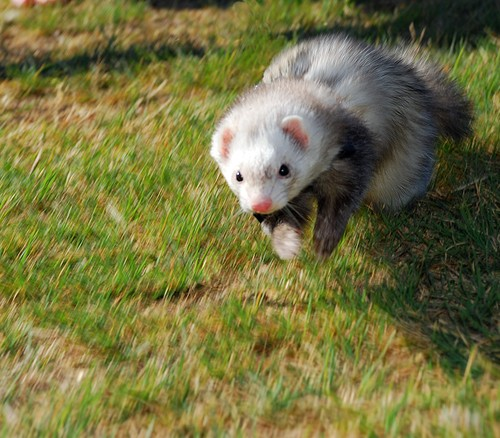 9 reasons ferrets are great pets 10