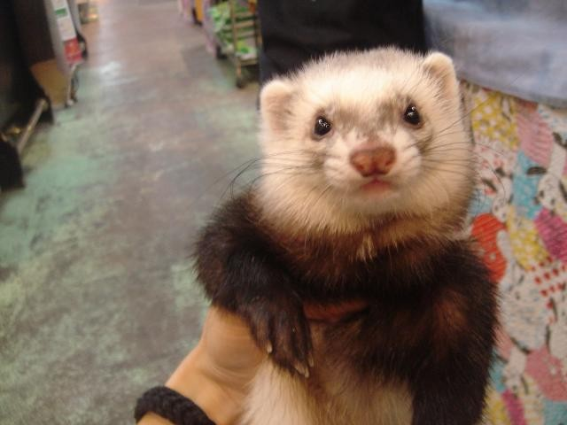 9 reasons ferrets are great pets 2