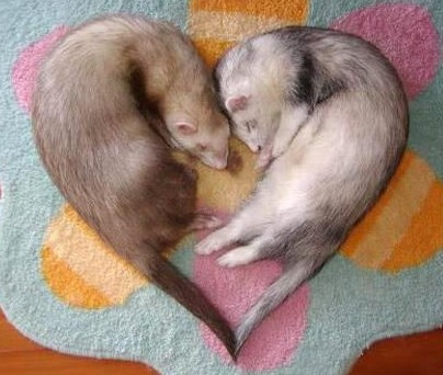 9 reasons ferrets are great pets 4