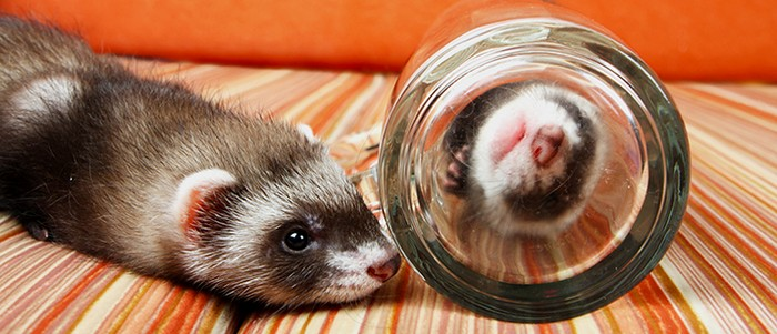 9 reasons ferrets are great pets 6