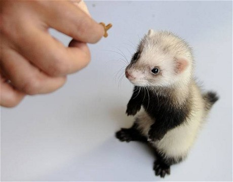 9 reasons ferrets are great pets 7