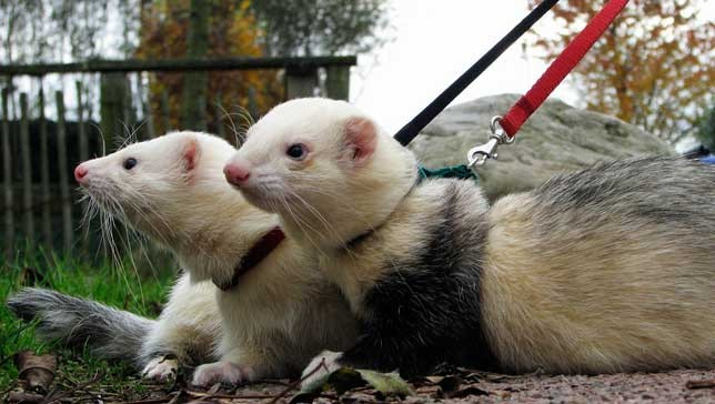 9 reasons ferrets are great pets 9