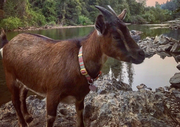 a goat that has seen the world 10 pictures 10