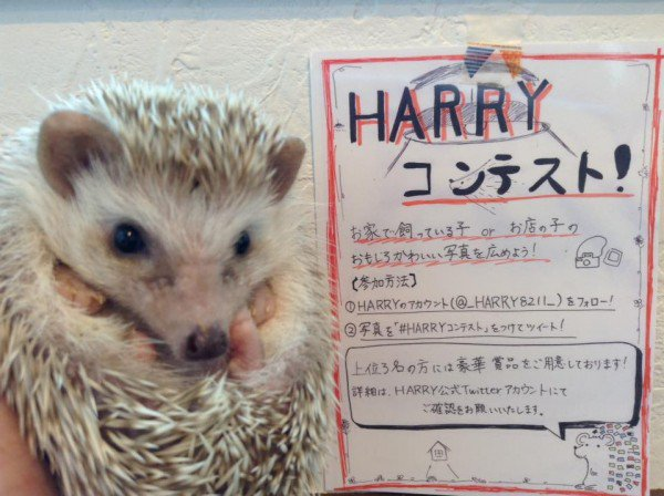 a must visit for hedgehog lovers 19 pictures 1