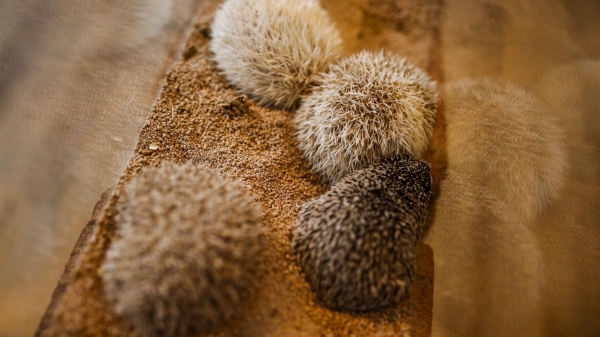 a must visit for hedgehog lovers 19 pictures 10