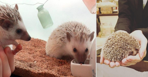 a must visit for hedgehog lovers 19 pictures 17