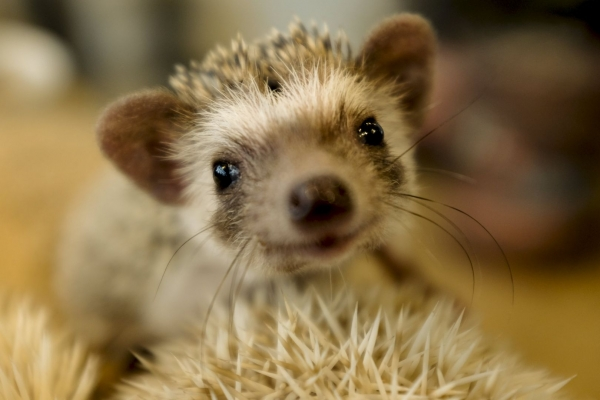a must visit for hedgehog lovers 19 pictures 6