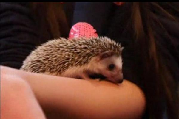 a must visit for hedgehog lovers 19 pictures 7