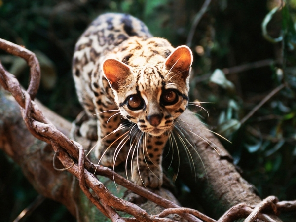 adorable margay cats and their unbelievable abilities 9 pictures 1