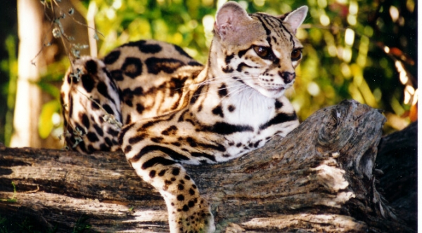 adorable margay cats and their unbelievable abilities 9 pictures 2