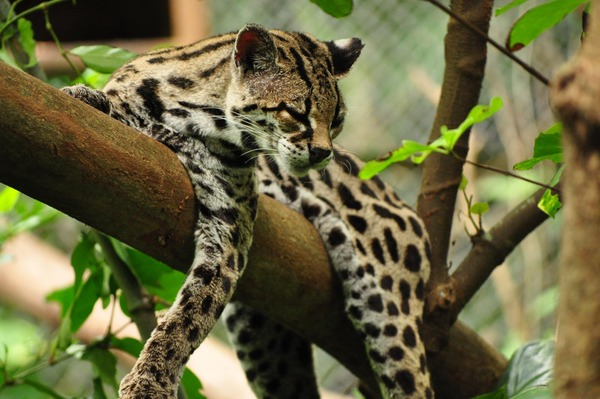 adorable margay cats and their unbelievable abilities 9 pictures 3