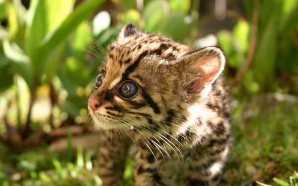 adorable margay cats and their unbelievable abilities 9 pictures 4