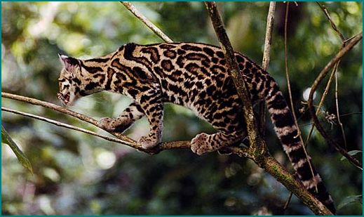 adorable margay cats and their unbelievable abilities 9 pictures 5