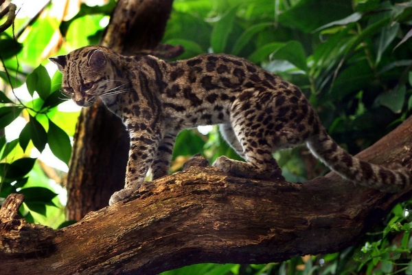 adorable margay cats and their unbelievable abilities 9 pictures 6