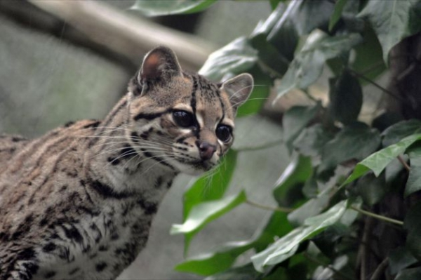 adorable margay cats and their unbelievable abilities 9 pictures 7