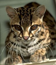 adorable margay cats and their unbelievable abilities 9 pictures 8