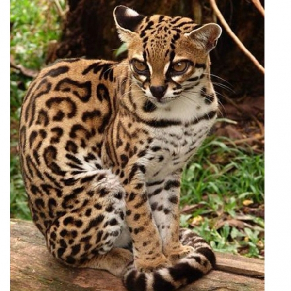 adorable margay cats and their unbelievable abilities 9 pictures 9