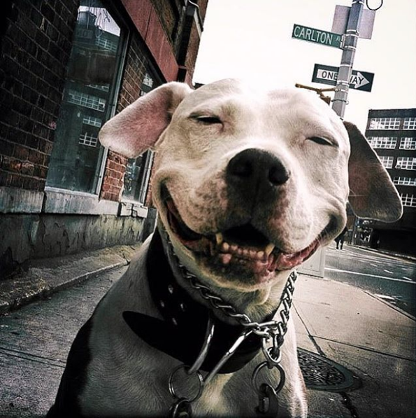 after being rescued brinks the exstray pit bull smiles all the time 1