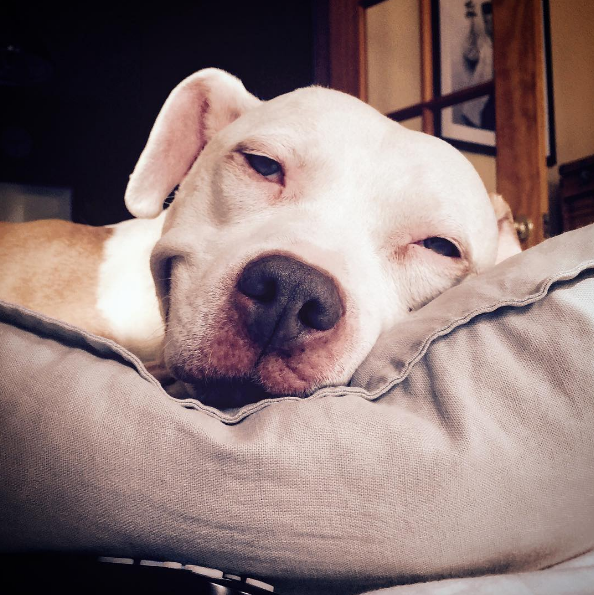 after being rescued brinks the exstray pit bull smiles all the time 10