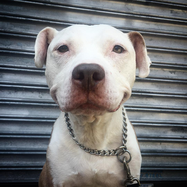 after being rescued brinks the exstray pit bull smiles all the time 11
