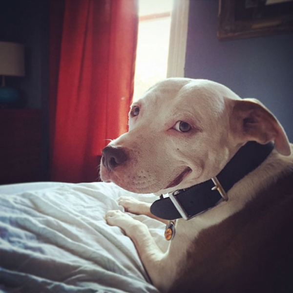 after being rescued brinks the exstray pit bull smiles all the time 5