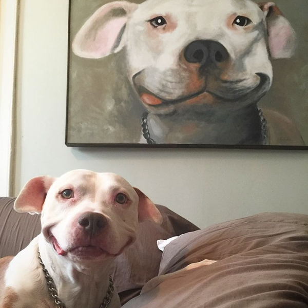 after being rescued brinks the exstray pit bull smiles all the time 9
