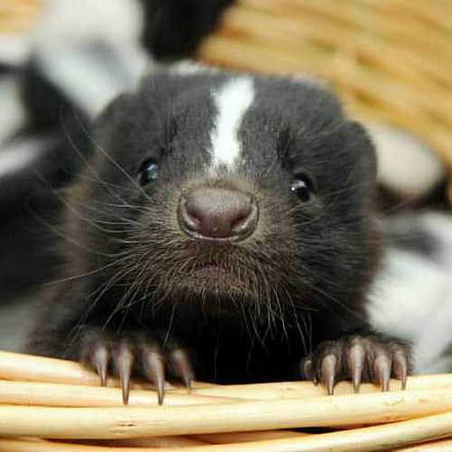 all about skunks funny things in 15 photos and 5 videos 1