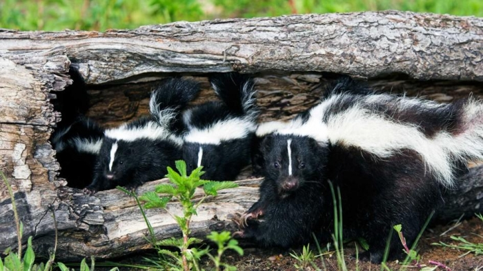 all about skunks funny things in 15 photos and 5 videos 10