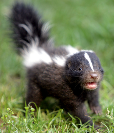 all about skunks funny things in 15 photos and 5 videos 12