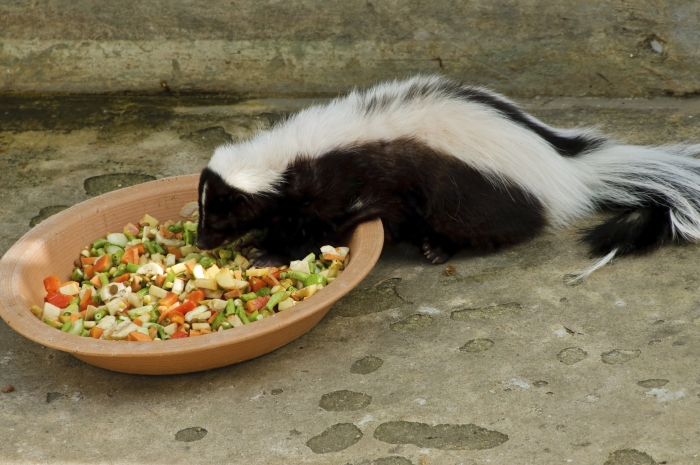 all about skunks funny things in 15 photos and 5 videos 13