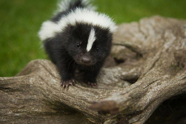 all about skunks funny things in 15 photos and 5 videos 7